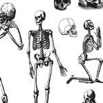 Human Skulls and Skeleton