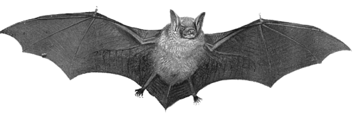 Bat png picture 11 500x162 vector