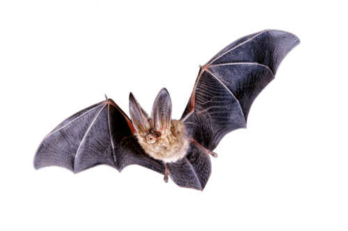 Bat png picture 5 500x332 vector