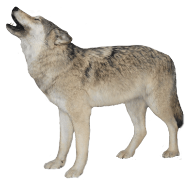 Wolf Png Clipart (23 Image) png