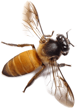 Bee Png Clipart (16 Image) png