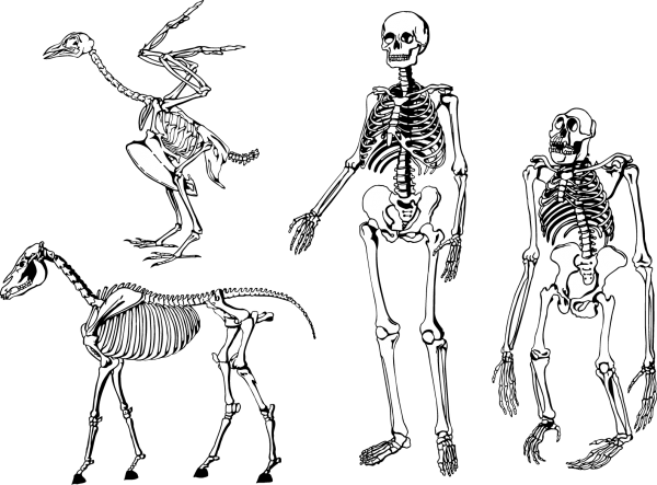 bones skeleton vector 600x443 vector